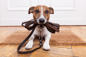 http://www.dreamstime.com/royalty-free-stock-photo-dog-leather-leash-waiting-to-go-walkies-image35537995